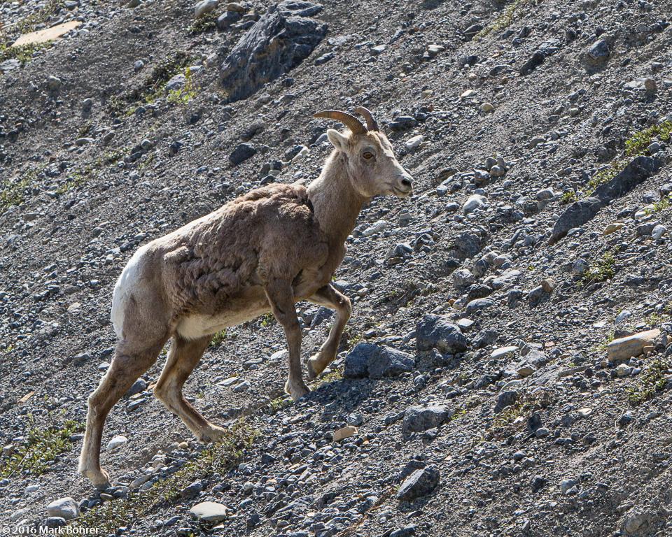 Bighorn sheep south of Athabasca Glacier