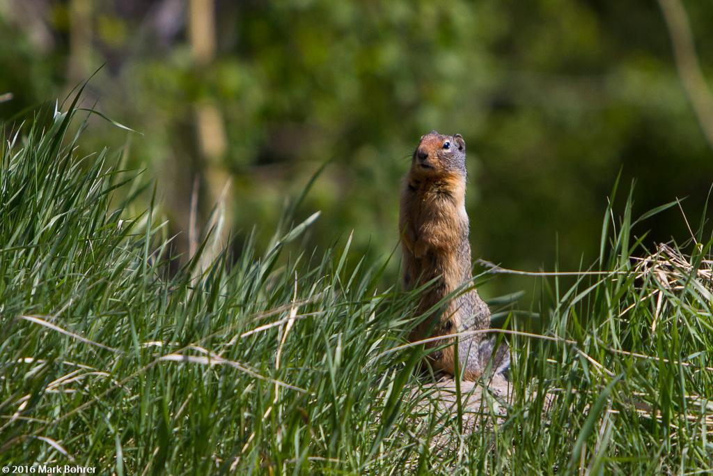 Columbian groiund squirrel, Icefields Parkway