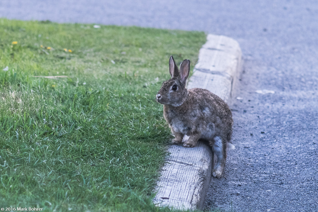 Relaxing cottontail, Canmore, Alberta