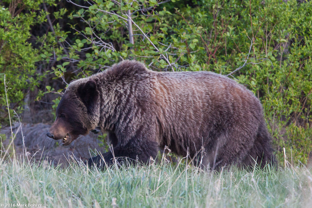 Grizzly clacking teeth, Jasper National Park, Alberta