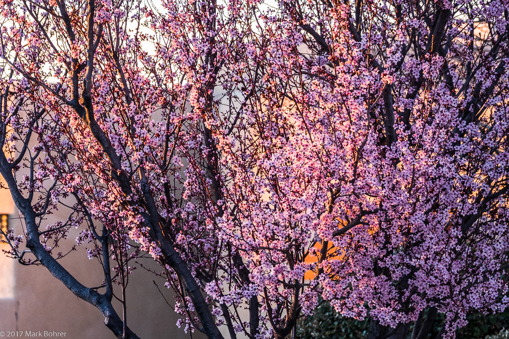 Blossoms at sunset - Albuquerque, New Mexico - Active Light Photography