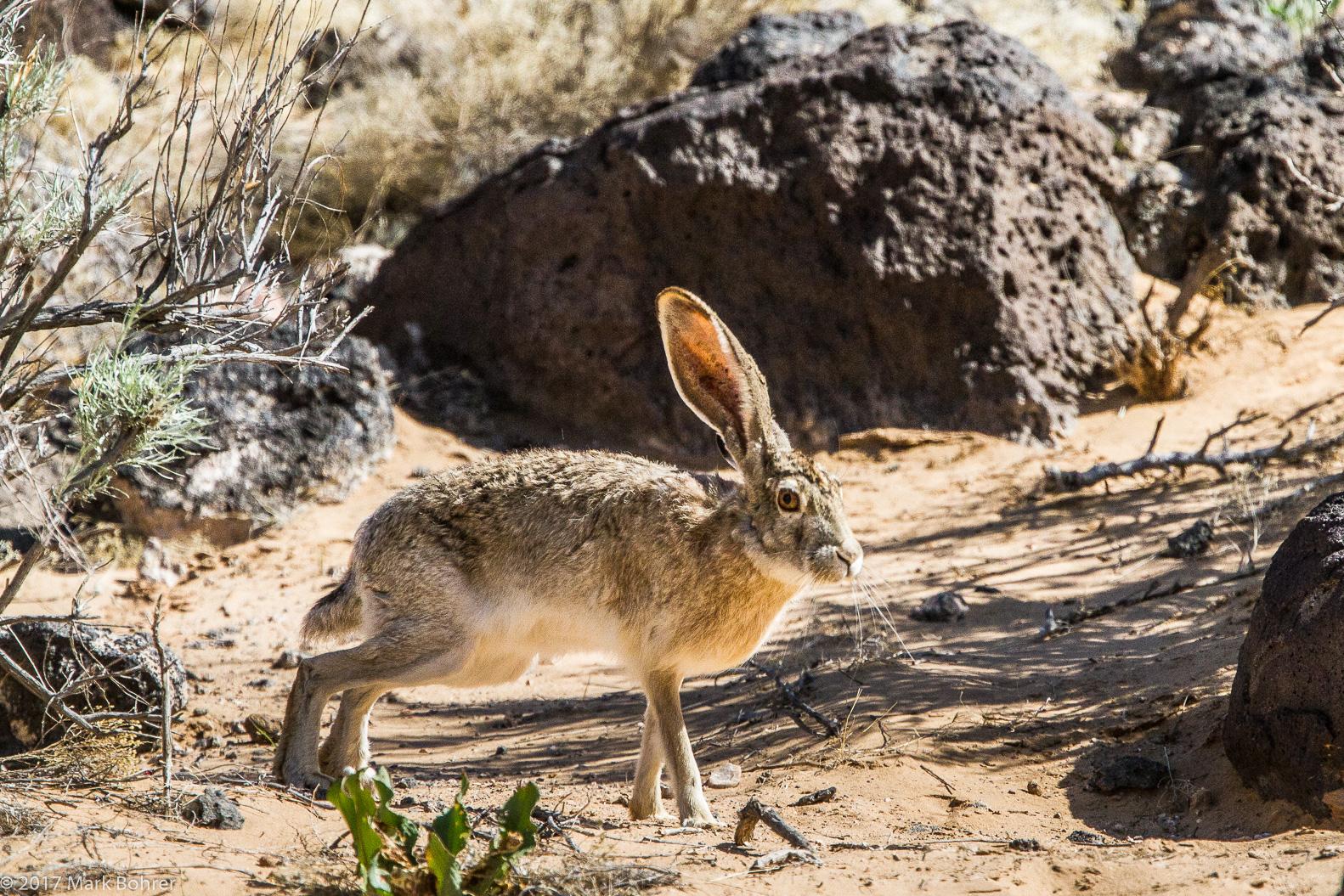 Rabbit ears - Piedras Marcadas Canyon, Petroglyph National Monument