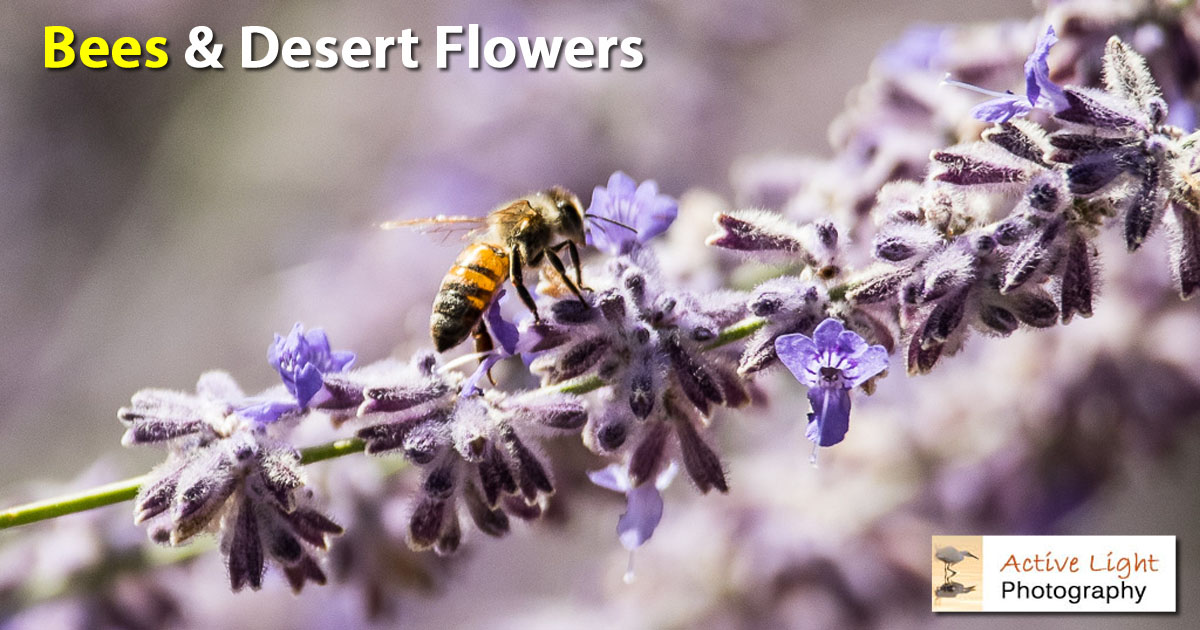 Bees & late desert flowers - Active Light Photography