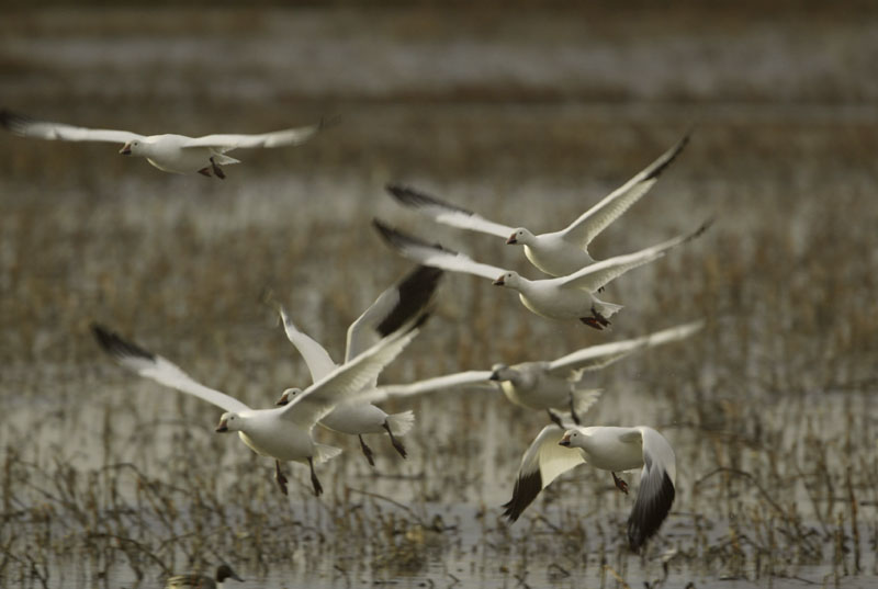 Snow geese liftoff, Bosque del Apache NWR, New Mexico