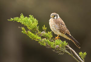 American Kestrel | Active Light Photography