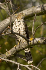 Juvenile Coopers Hawk | Active Light Photography