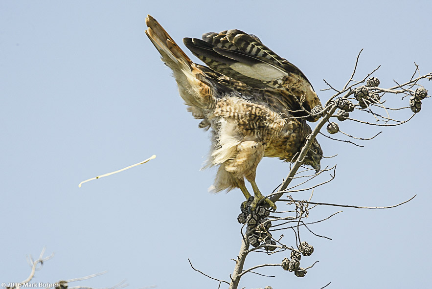 Red-tailed hawk lightening up pre-flight, Shoreline at Mountain View, California