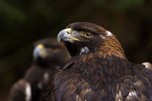 Golden Eagle captive | Active Light Photography