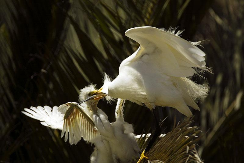 Snowy egret feeding nestling