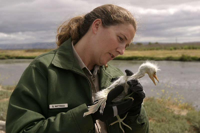 Ranger Bonnie Nattrass and rescued snowy egret nestling, Palo Alto Baylands