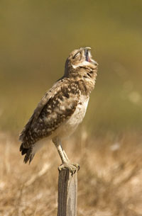 Burrowing Owl | Active Light Photography