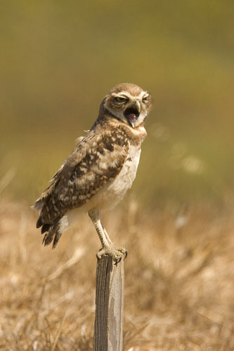 Burrowing owl yawning