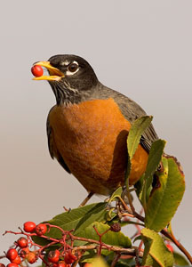American Robin | Active Light Photography