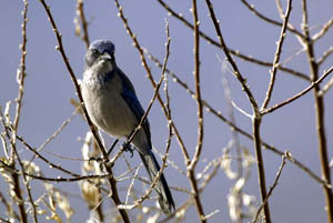 Scrub Jay | Active Light Photography
