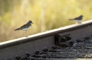 Killdeer | Active Light Photography