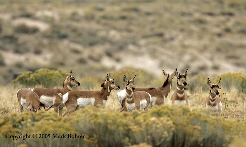 Pronghorn, Antelope Island State Park, Utah