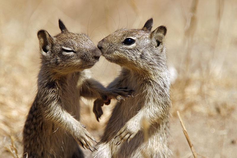 Kissing California Ground Squirrels