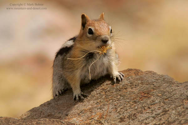 Golden-mantled ground squirrel, Mono Pass, Yosemite National Park, CA