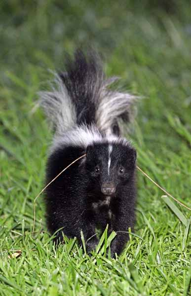 Striped Skunk, Shoreline at Mountain View, California