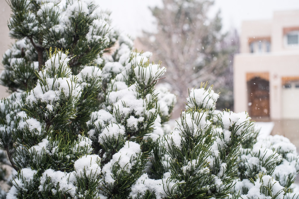 Pine snow detail, Albuquerque, New Mexico