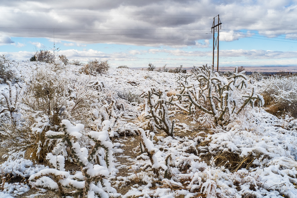 Cane cholla and snow, Sandia foothills, Mew Mexico
