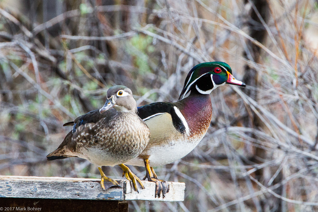 She chose ME - Wood duck pair at Rio Grande Nature Center, Albuquerque