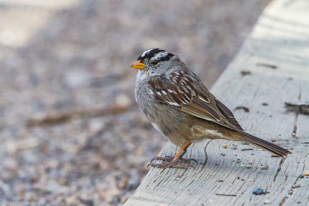 White-crowned sparrow - still for a nanosecond at Rio Grande Nature Center, Albuquerque