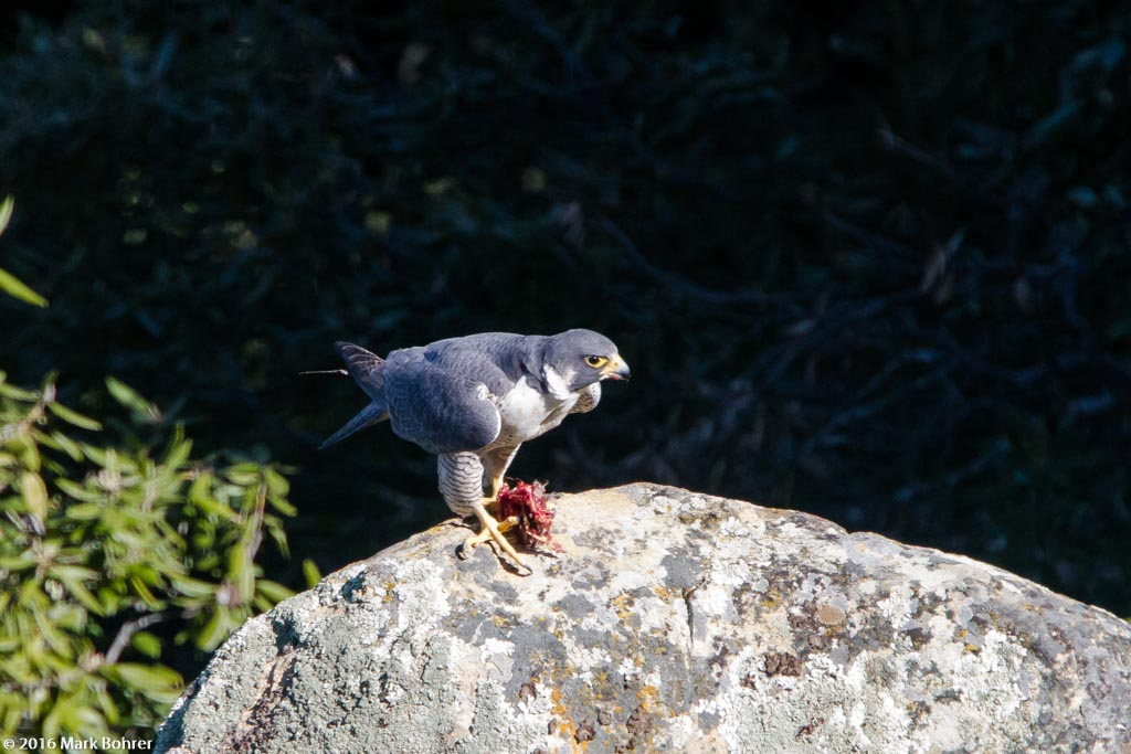 Hungry Peregrine falcon with meal, Sanborn Park