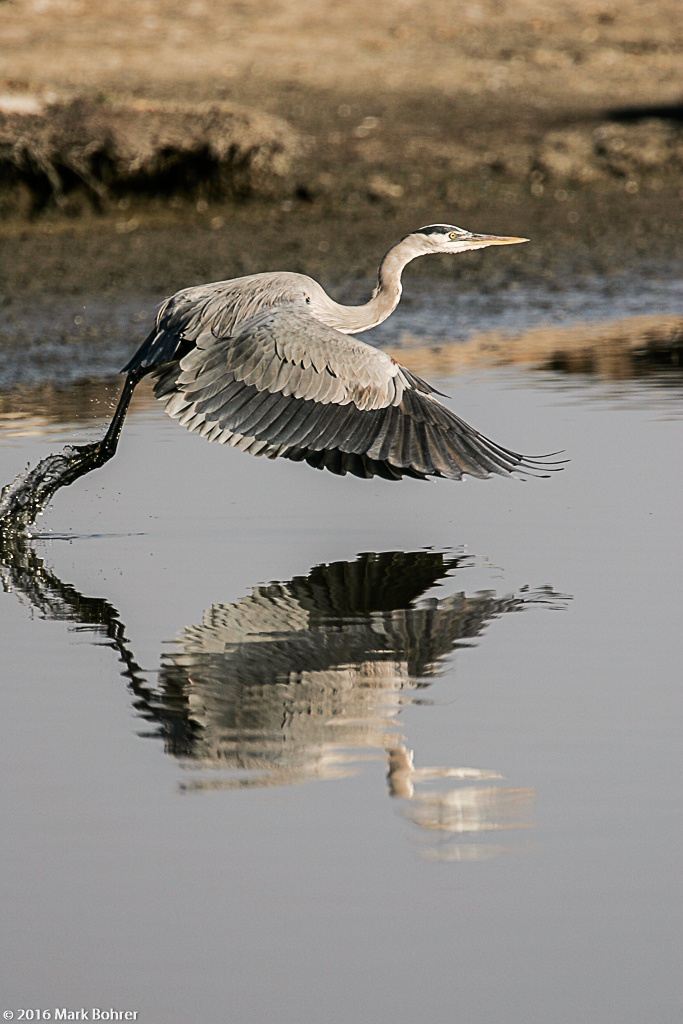 Great blue heron takeoff, Shoreline at Mountain View, California