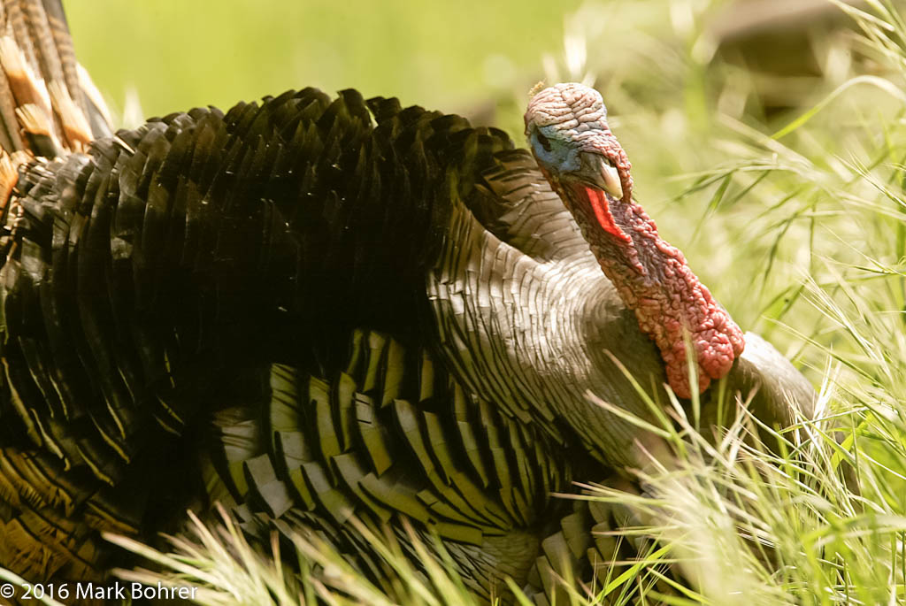 Wild Turkey, Sycamore Grove, CA  || Camera: Canon EOS-1Don: 2004:04:08 20:25:16