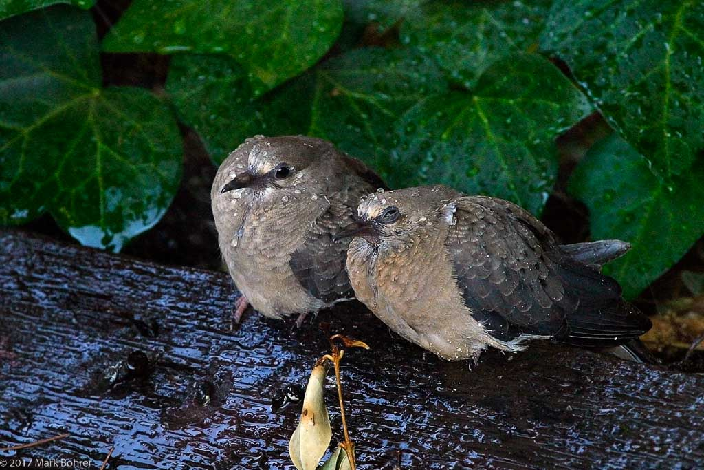 Mourning doves in the rain, Saratoga, California