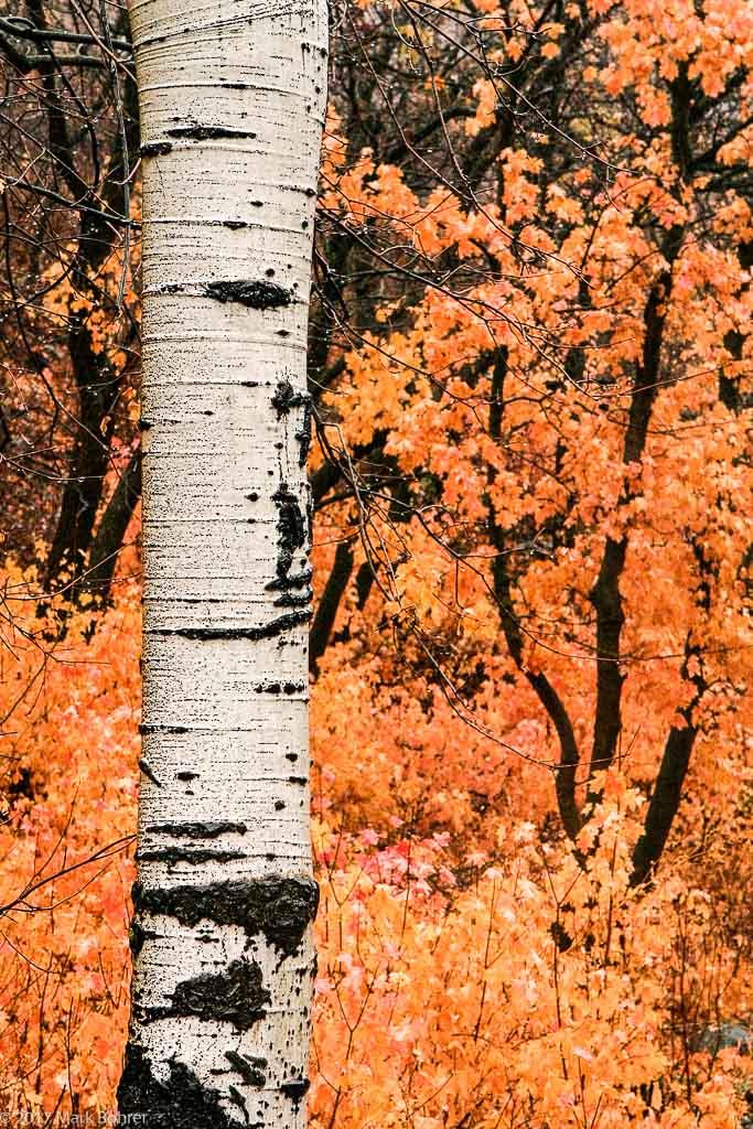 Aspen trunk, Sundance, Utah