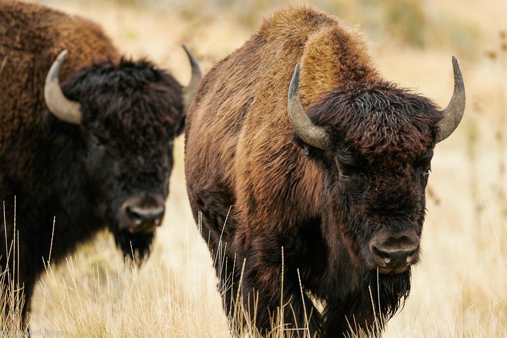 Bison, Antelope Island State Park, UT