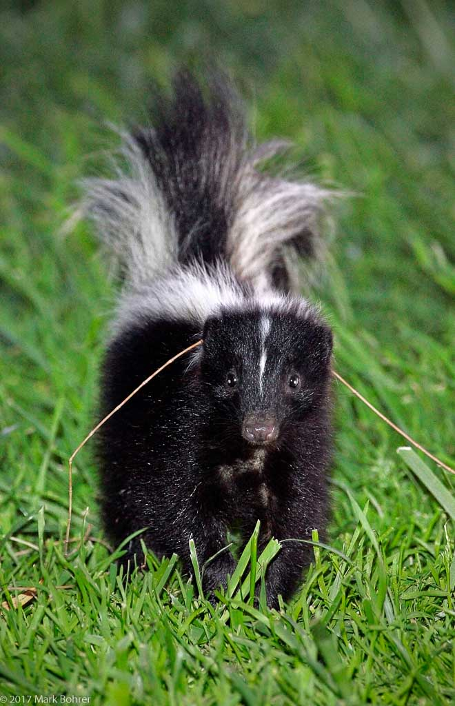 Flashed skunk surprise, Shoreline at Mountain View, California
