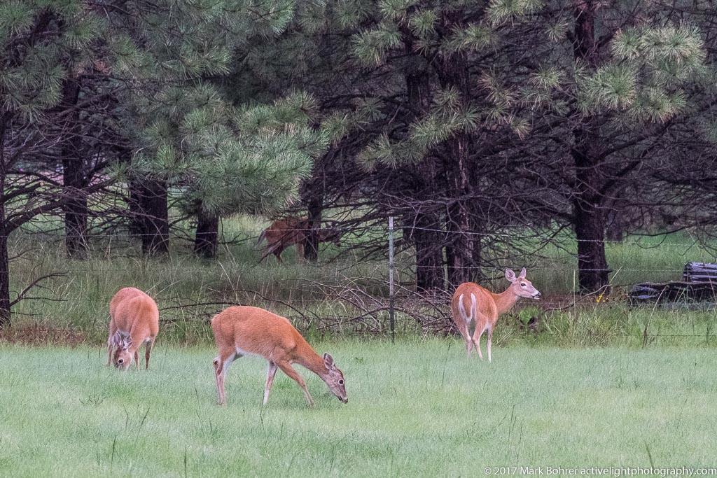 White-tailed deer, Sacramento Mountains, NM