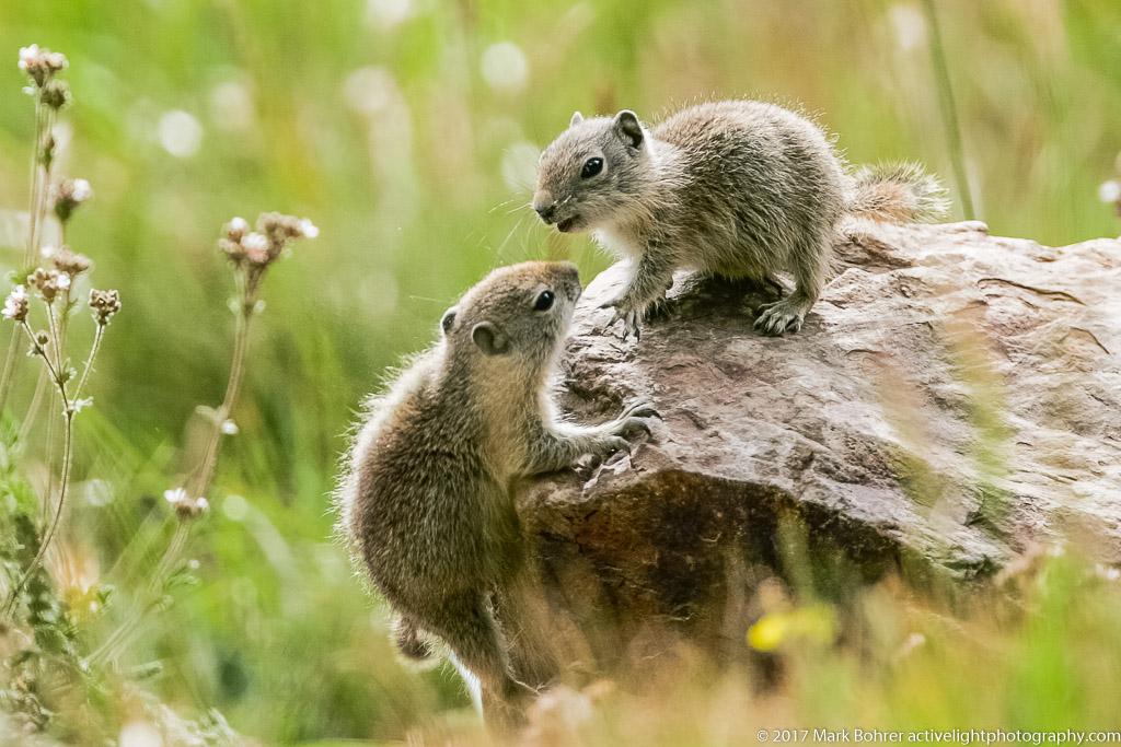 Belding's ground squirrels, Mono Pass trail, Yosemite National Park