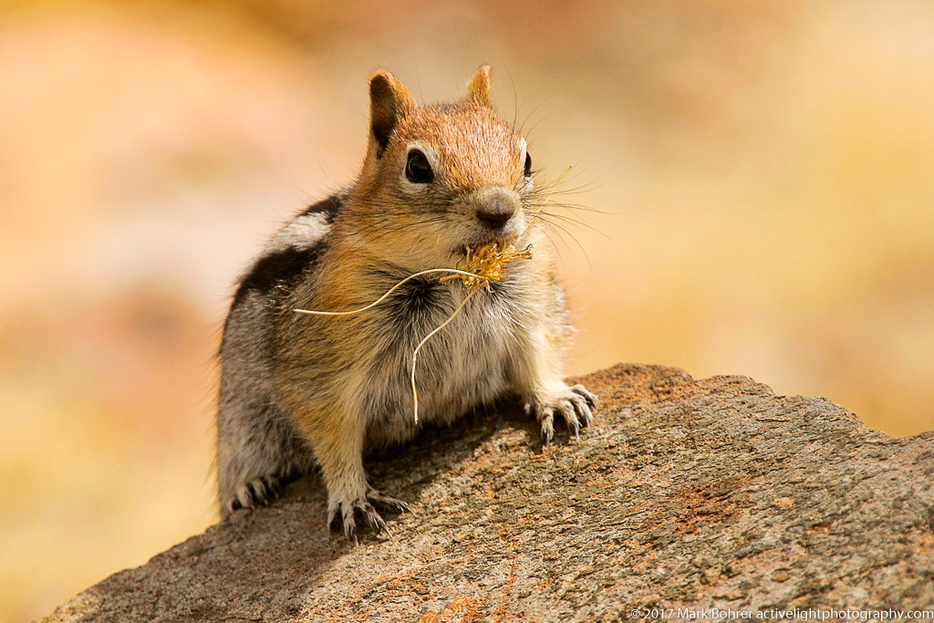 Golden-mantled ground squirrel, Mono Pass Yosemite National Park, California