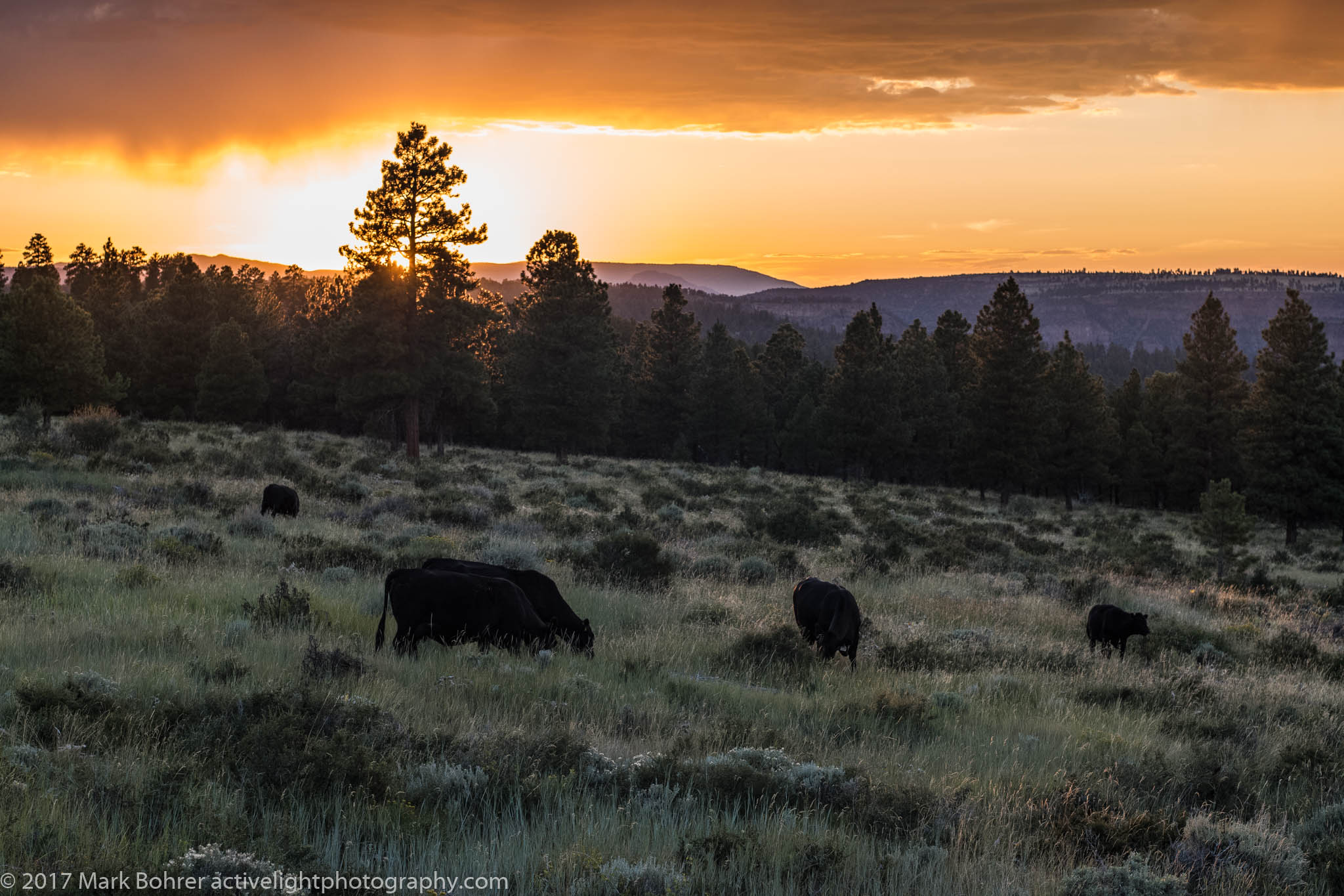 Bovine sunset above Red Canyon / Swett Ranch