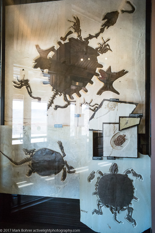 Giant long-tailed turtle fossils