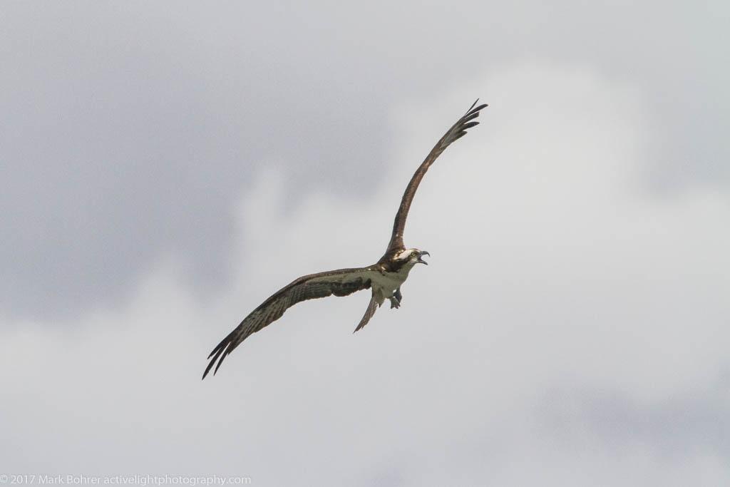 Osprey soaring near Flaming Gorge dam, Utah
