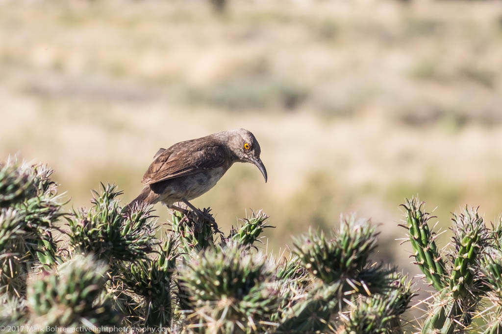 Curve-billed thrasher in cane cholla, Sandia foothills, New Mexico
