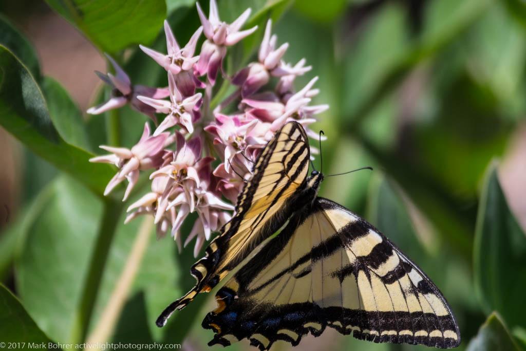 Western Tiger Swallowtail near Questa, New Mexico