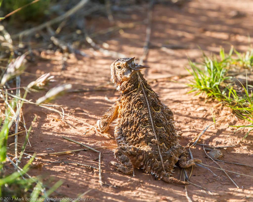 Texas Horned Lizard, Palo Duro Canyon, Texas
