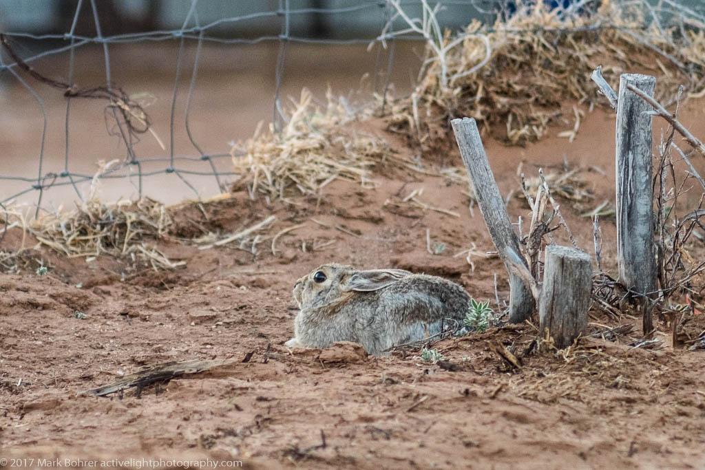 Desert cottontail hiding in plain sight, Mountainair, New Mexico