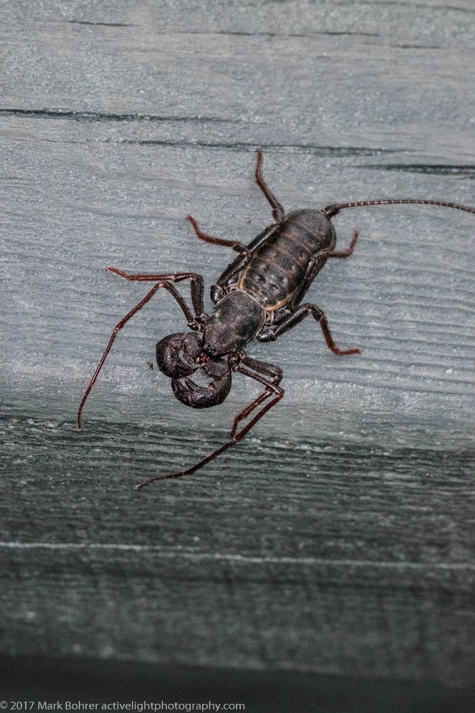 Whip scorpion, Albuquerque, New Mexico