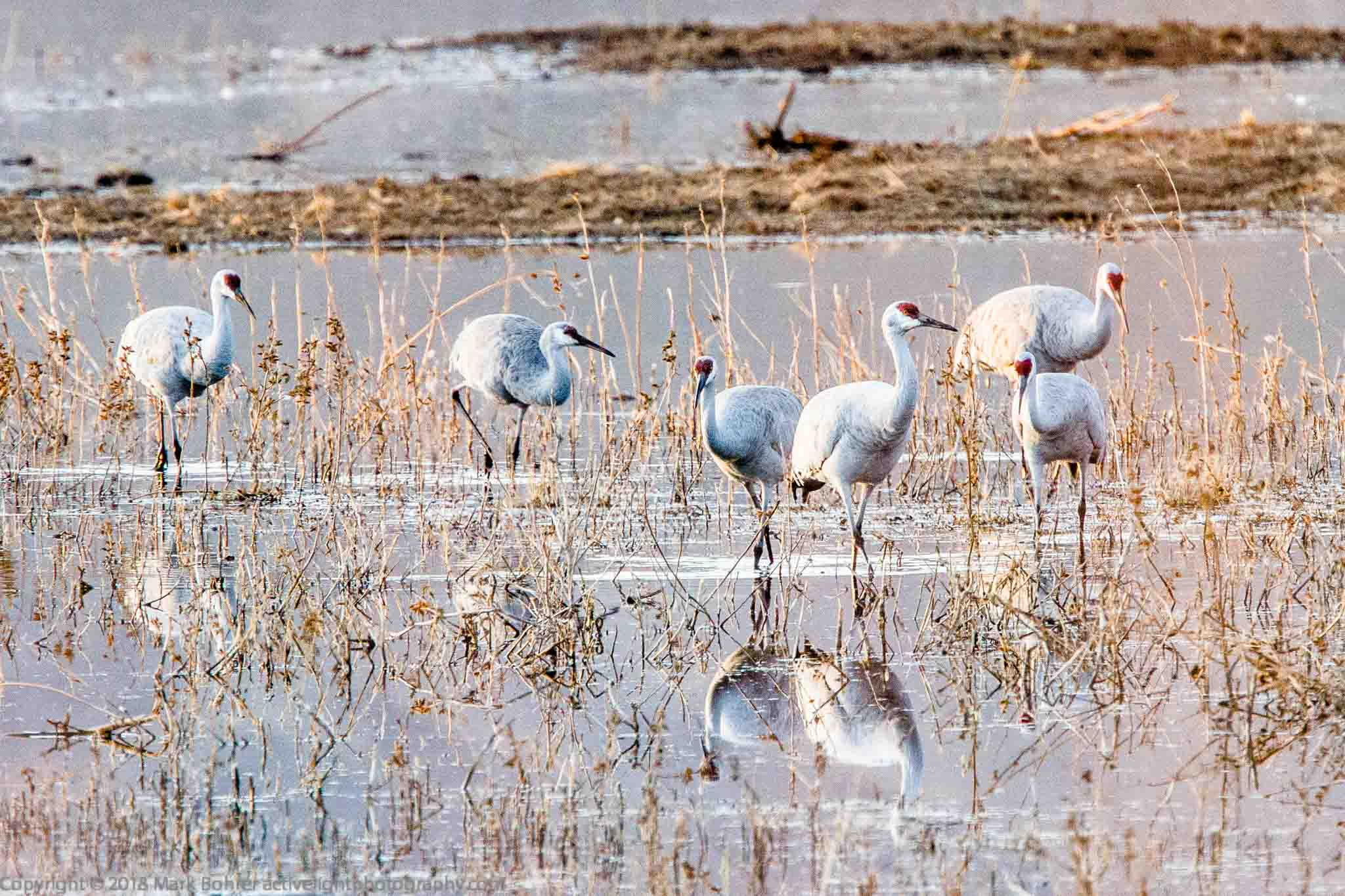 Sandhill cranes in the ponds, Bosque del Apache