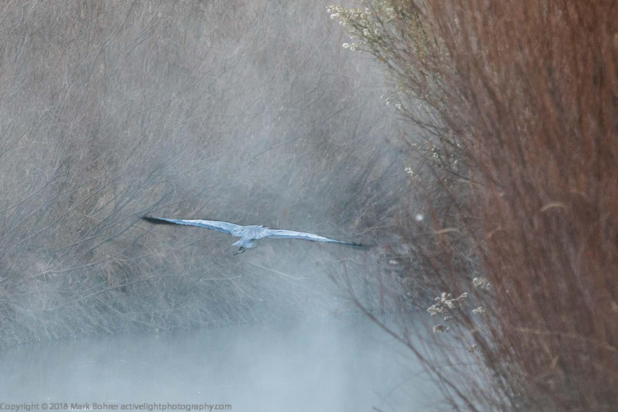 Great blue heron flying into the fog