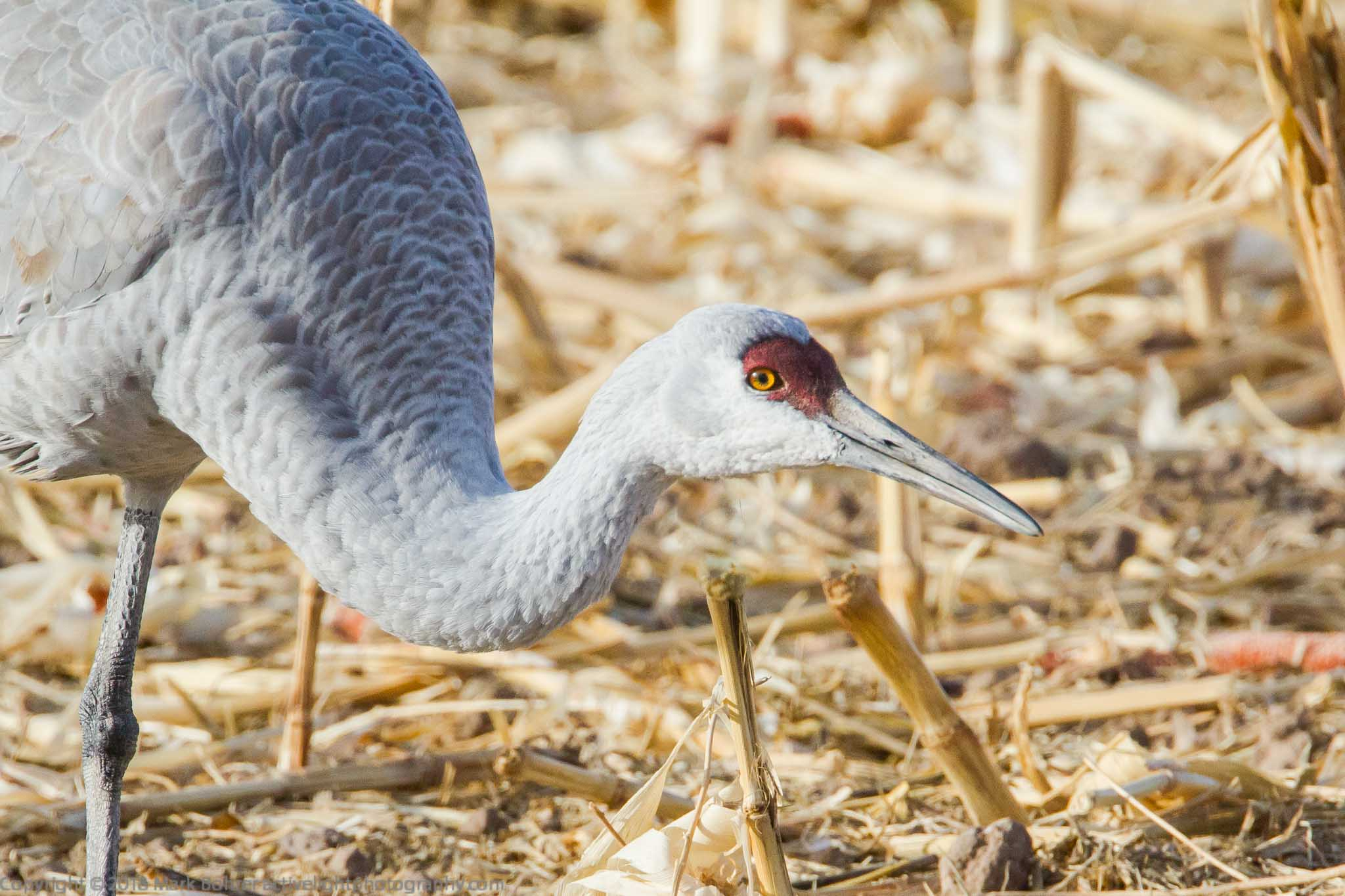 Sandhill crane - Who are YOU?, Bosque del Apache NWR