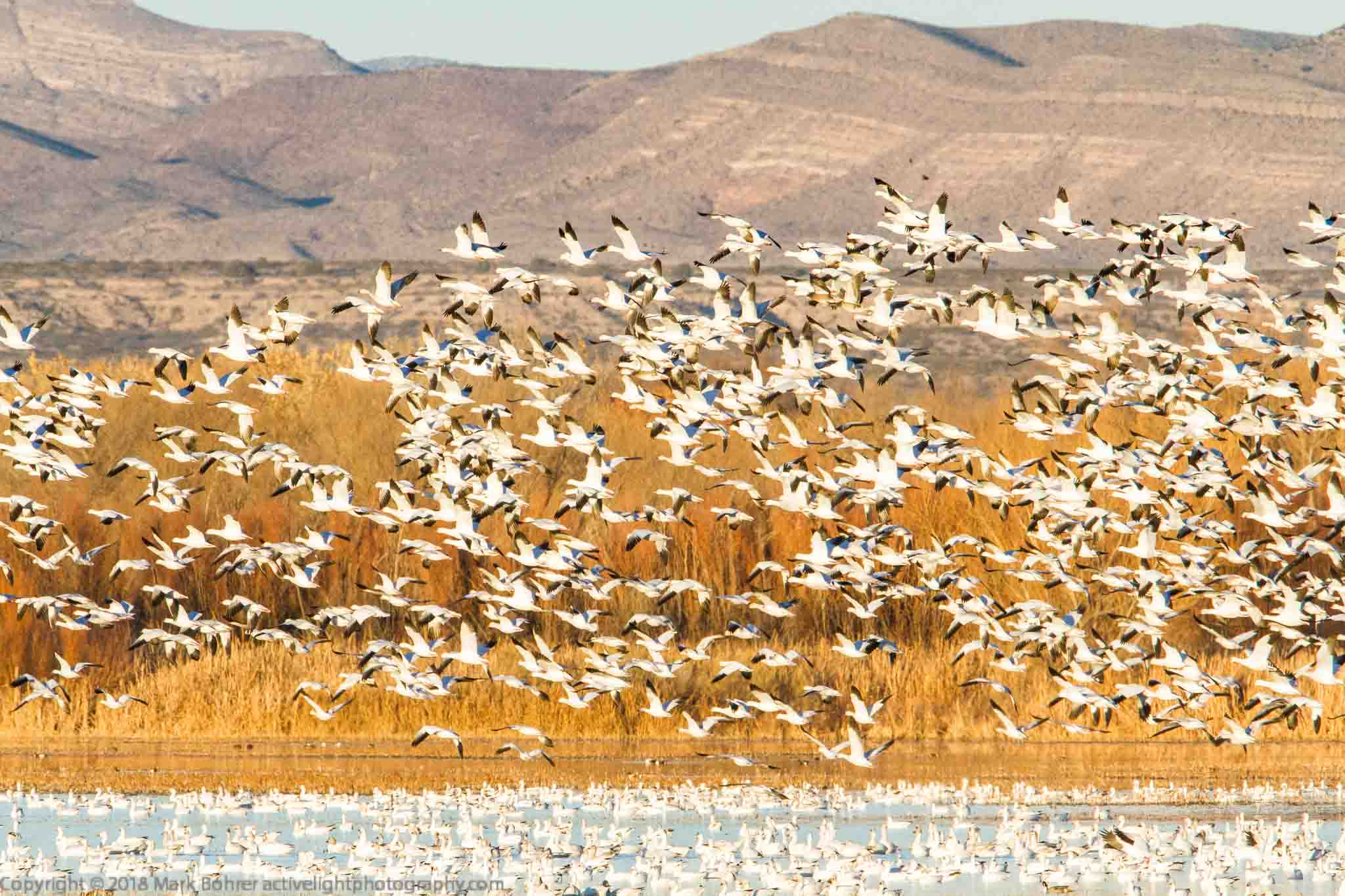 Afternoon snow goose liftoff, Bosque del Apache