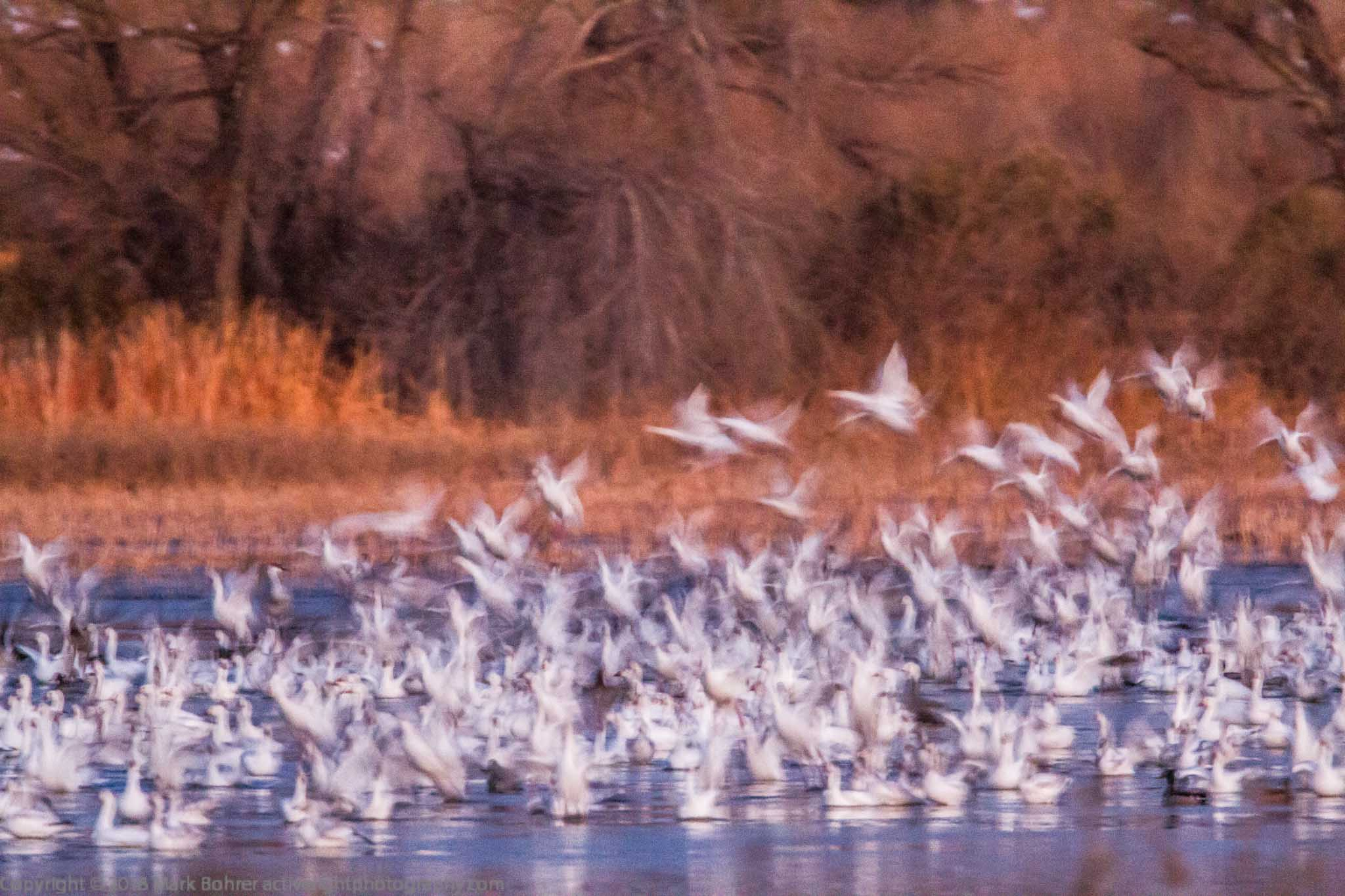 Impressionistic geese liftoff